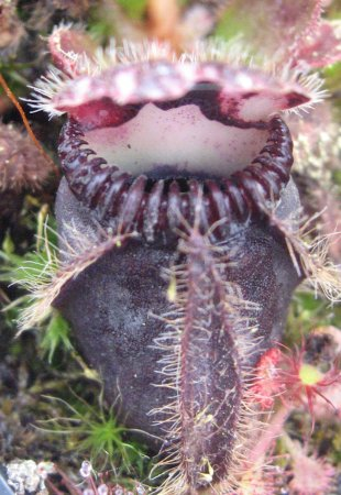 Cephalotus follicularis 'Triffid Albany Black x Open Pollinated'