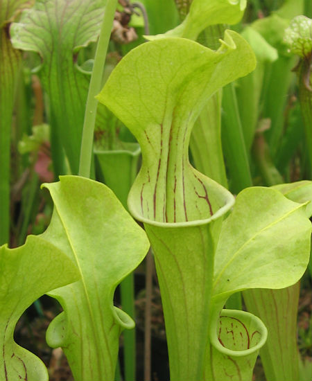 Sarracenia oreophila x flava - Red Tube