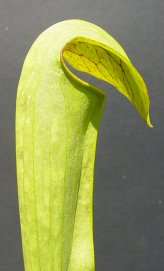 Sarracenia minor x Open Pollinated
