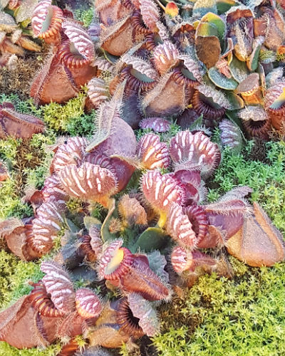 Cephalotus follicularis 'Hummers Giant' x Open Pollinated