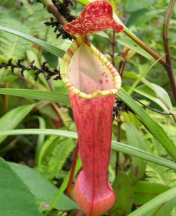 Fresh Nepenthes seeds now in